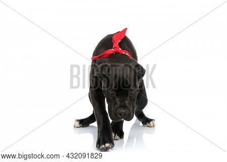 adorable cane corso puppy wearing red bandana around neck and walking while looking down on white background in studio