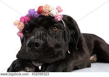 portrait of cute cane corso puppy wearing flowers headband  and looking up laying down isolated on white background in studio