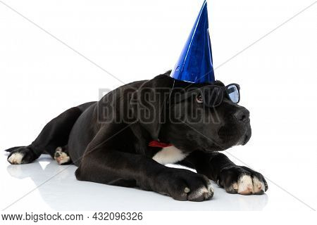 beautiful black cane corso puppy with birthday hat, sunglasses and bowtie looking up and laying down on white background in studio
