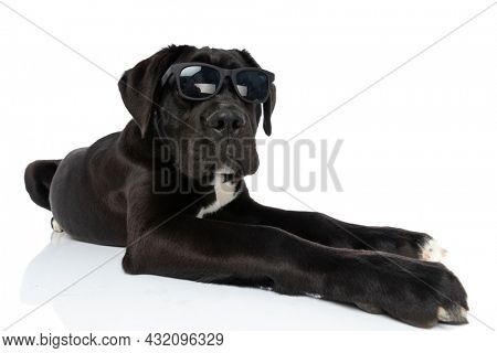 cool cane corso dog wearing sunglasses and laying down isolated on white background in studio
