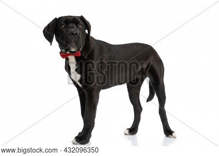 side view of elegant cane corso dog wearing red bowtie, looking to side and standing on white background in studio