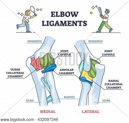 Elbow Ligaments With Medical Medial Or Lateral Xray Structure Outline Diagram. Labeled Educational A