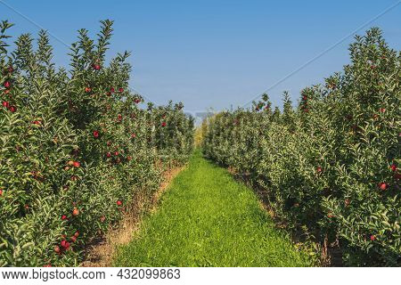Path Between Rows Of Apple Trees At Orchard, Red Ripe Apples On Trees Against Blue Sky