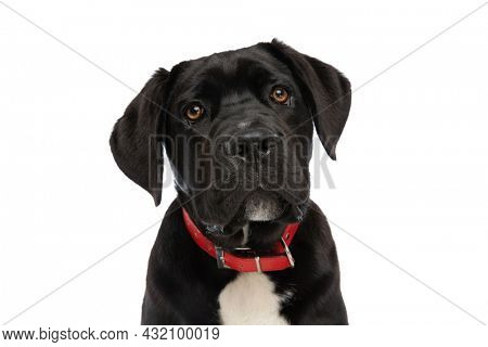 portrait of cute cane corso puppy wearing red collar around neck and looking up isolated on white background in studio