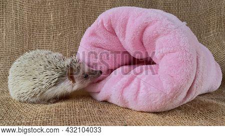 African Hedgehog And Pink Sack On Burlap Background