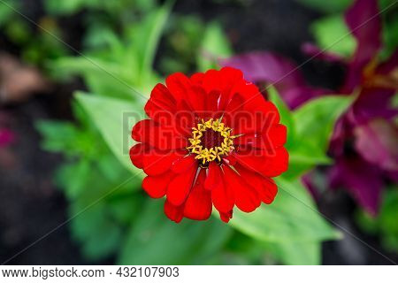Zinnia Flower (latin Zínnia) Is A Bright Red Color Against A Green Background On A Clear Sunny Day.