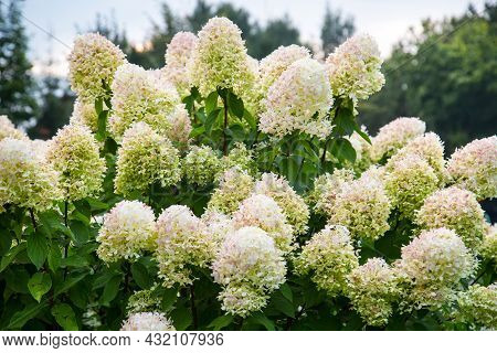 Hydrangea Flowers (lat. Hydrangea) Are White Against A Green Background On A Clear Sunny Day. Nature