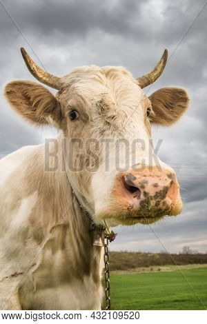 Beautiful white cow looks into camera close-up. Dairy cow portrait against cloudy sky. Cute cow portrait
