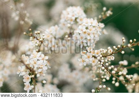 Beautiful Soft Spring Background. Spring Border Or Background Art With Beautiful Cherry Flowers In S