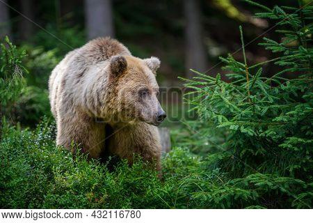 Wild Brown Bear In The Summer Forest. Animal In Natural Habitat. Wildlife Scene