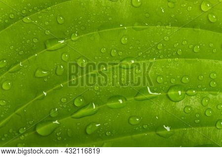 Fresh Wet Green Leaf With Many Drops