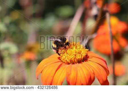 Close-up Of Bumblebee Collecting Pollen From Orange Flower In The Garden.