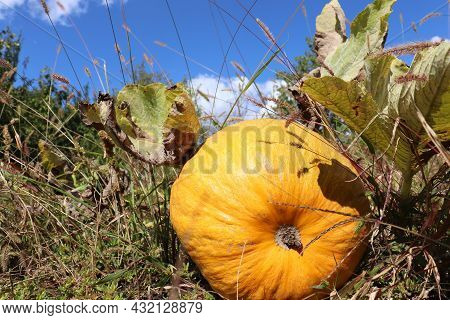 Pumpkin On The Grass In The Field And Blue Sky With White Clouds. Autumn Landscape