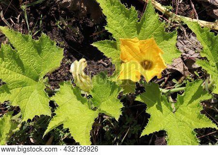 Yellow Pumpkin Flower Growing In The Garden. Top View