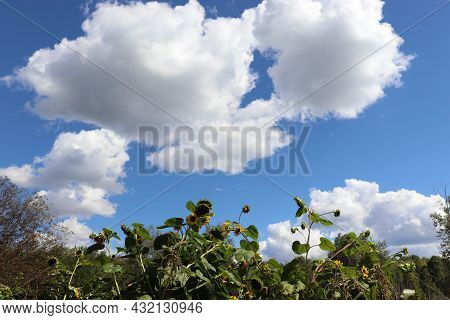 Summer Landscape With Sunflowers On The Field Against Blue Sky And White Clouds.