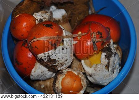 Amanita Caesarea Mushroom, Also Known As Caesar Mushroom. Forest Mushrooms In A Plastic Bucket.