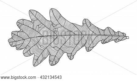 Linear Graphic Oak Leaf Drawing With Veins Isolated On White Background. Element For Design In Line