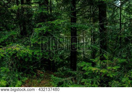 Beautiful Gloomy Forest Landscape In Deciduous Forest.