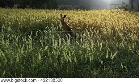 A Stunning Australian Sunset With A Kangaroo Sitting Amongst The Grass In A Golden Glow