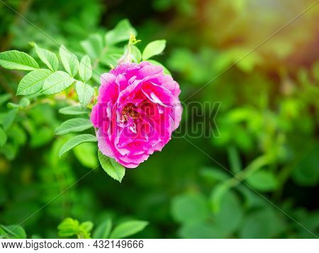Blooming Rosehip Flower, Beautiful Pink Flower On A Bush Branch. Beautiful Natural Background Of Blo