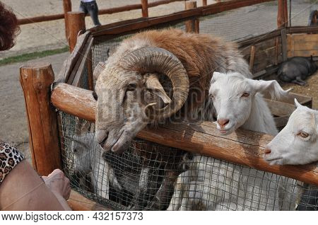 Ram With Curved Horns, Sheep And Goats In Cattle Farm. Countryside Farming Agriculture. Feeding Of F
