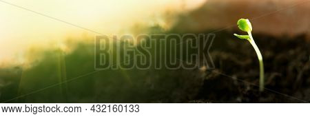 Panoramic Banner Of Agriculture Plant Seeding Growing In Sunlight. Germinating Seedling. Business De