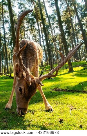 Fallow deer stag on a sunny day in the woods