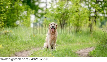 Adorable golden retriever dog sitting outdoors in green grass at the nature in summer time. Beautiful portrait of doggy pet with tonque out during walk in park