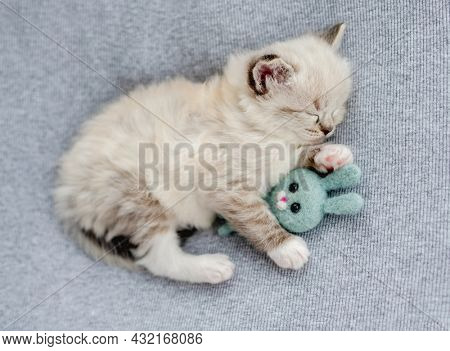 Adorable little fluffy ragdoll kitten sleeping and hugging toy rabbit bunny on light blue fabric during newborn style photoshoot in studio. Cute napping kitty cat portrait