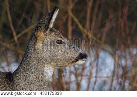 Roe Deer In Forest, Capreolus Capreolus. Wild Roe Deer In Nature.