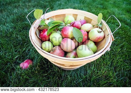 Organic apple harvest, basket of freshly harvested apples with natural blemishes and spots, shallow focus