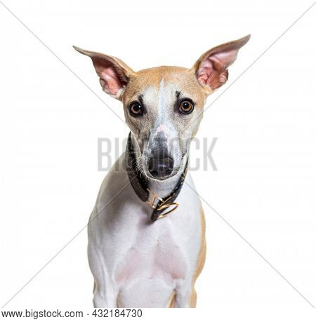 head shot of a Whippet dog facing wearing a collar, isolated on white