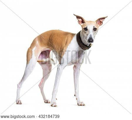 Standing Whippet dog wearing a collar, isolated on white