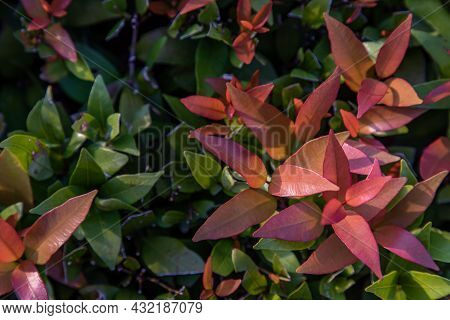 Red Leaf Photinia Of Photinia Glabra Robin. Flower's Leaves Are Raised To Receive Soft Sunlight In T