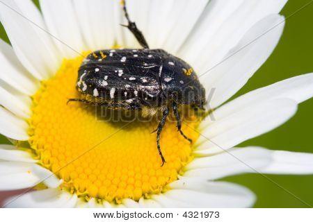 blossom feeder (epicometis hirta) beetle on chamomile feeding nectar poster