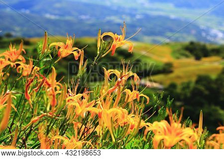 Close-up Of Daylily(hemerocallis Fulva,orange Daylily) Flowers And Buds,view Of Orange Daylily Flowe