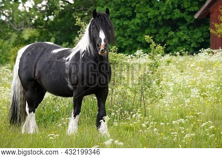 Black Fjord Horse With Black And White Mane On The Field