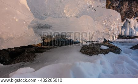 Early Spring. Icicles Melt In The Rays Of The Sun. The Shiny Ice Is Highlighted In Pink. Snow At The