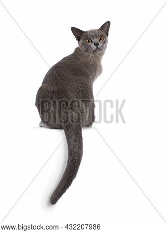 Blue Burmese Cat Kitten, Sitting Backwards On Edge With Tail Hanging Down. Looking Over Shoulder Tow