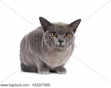 Blue Burmese Cat Kitten, Laying Down Facing Front. Looking  Towards Camera. Isolated On A White Back