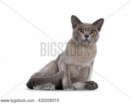 Blue Burmese Cat Kitten, Sitting In Relaxed Pose. Looking  Towards Camera. Isolated On A White Backg