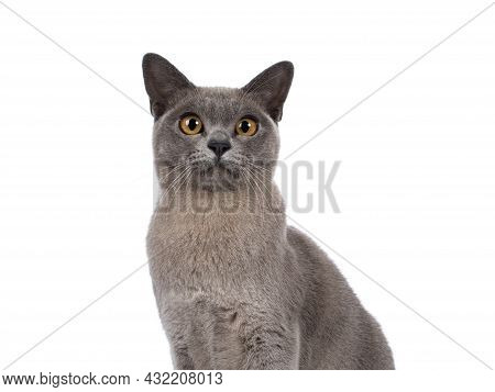 Haed Shot Of Blue Burmese Cat Kitten, Sitting Up Facing Front. Looking  Towards Camera. Isolated On