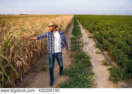 Farmer Is Walking By His Dry Corn Field And Examining Crops.