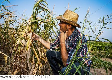 Farmer Is Looking At His Dry Corn Field And Examining Crops.