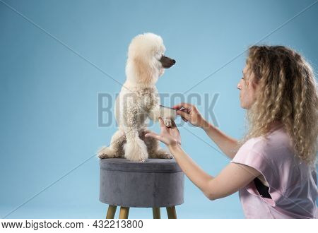 Poodle Hairstyle. The Girl Is Combing The Dog. Pet Grooming. Animal On A Blue Background