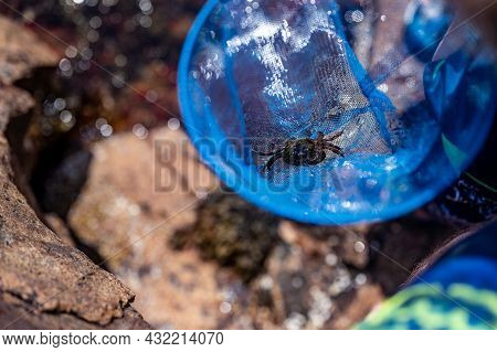 Catching A Crab In A Tide Pool At Acadia National Park, Maine, Usa