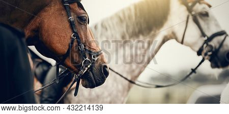 The Muzzles Of Two Horses. Portrait Sports Stallions In The Bridle After The Competition. Dressage O