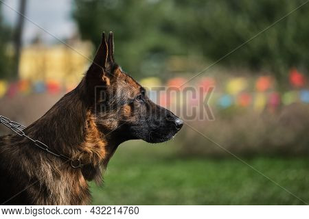 Portrait Of A Black-and-red German Shepherd In Close-up. Beautiful Charming Adult Dog, Muzzle On Gre