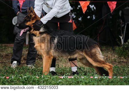 4.09.21 Russia Krasnodar Dog Show Of The German Shepherd Breed. Handler Put Shepherd Puppys Dog In S