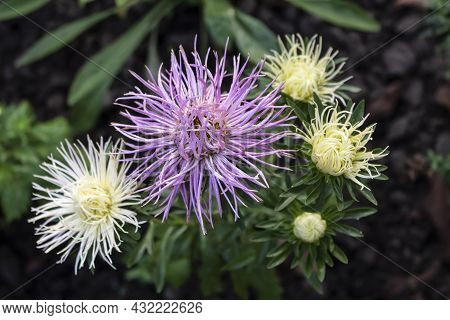 An Extraordinary Aster Blooms In The Garden. One Plant Blooms Needle Flowers Of Different Colors - L